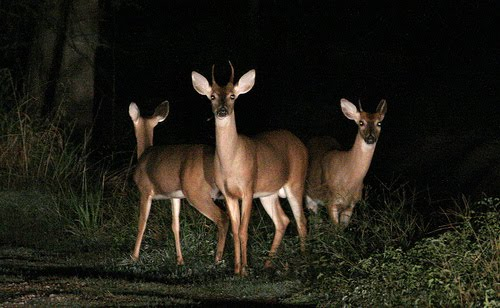 Deer Eyesight: Not As Sharp As You Think